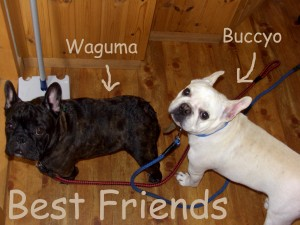 waguma and buccyo